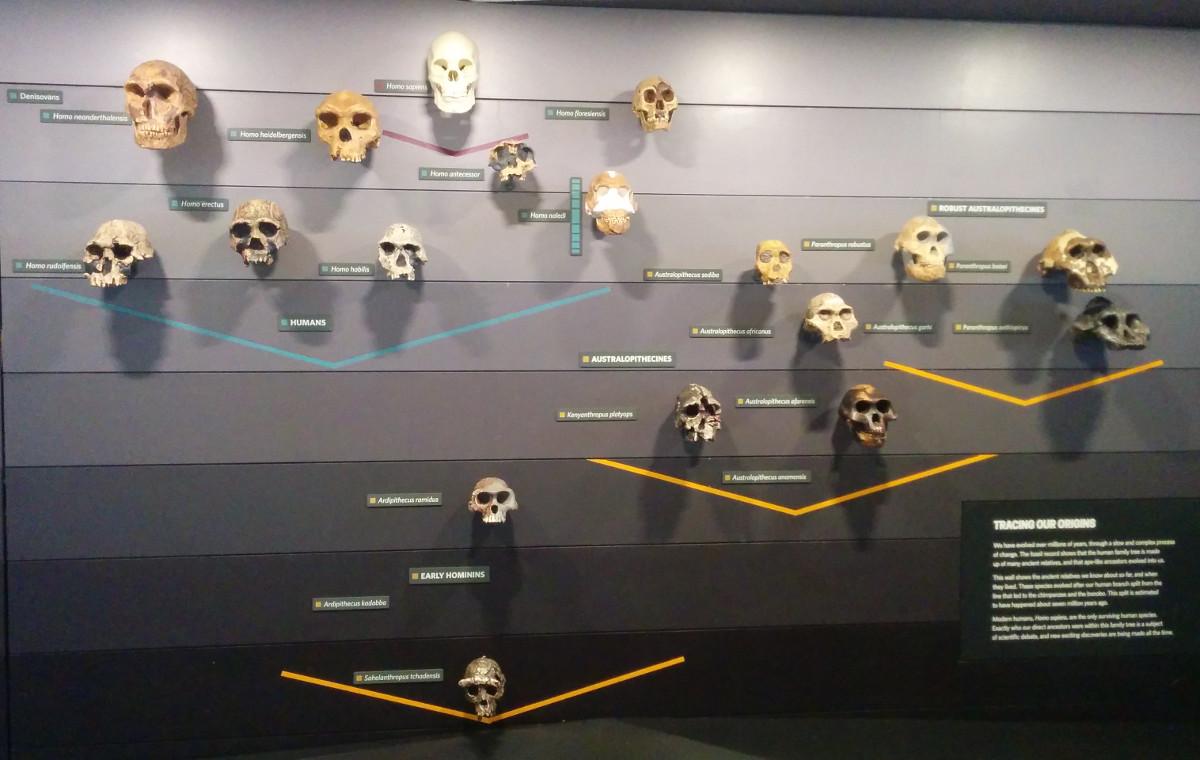 Evolución de los homínidos.