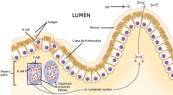 Monocapa de enterocitos y moco intestinal