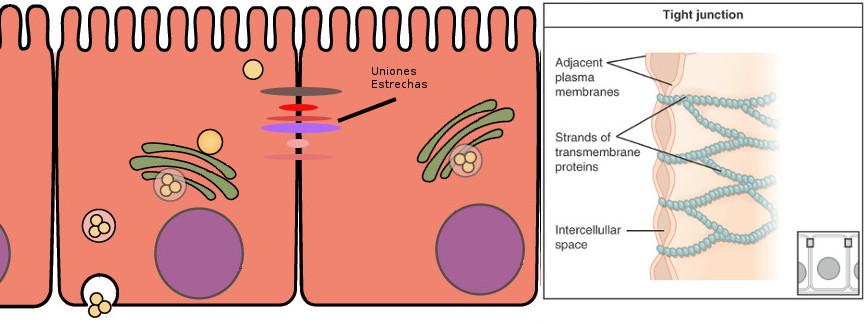 Uniones estrechas del epitelio intestinal